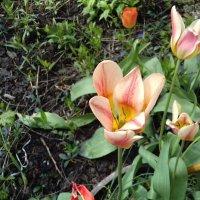 Тюльпаны :: Сапсан
