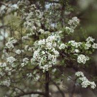 Цветение груши :: Татьяна Афанасьева