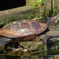 Красноухая черепаха :: Константин Ординарцев