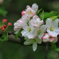 Яблоневый цвет :: Ninell Nikitina