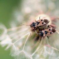 Травяные клопики :: Оксана Лада