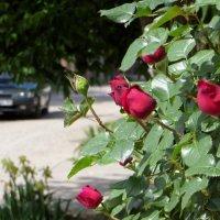 В моём краю пришла пора роз, а значит, на пороге лето! :: Татьяна Смоляниченко