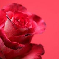 red rose :: Nara Nakhshkarian