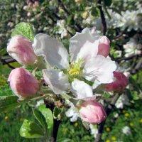 Цветение яблони :: dli1953