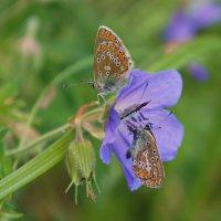 Бабочки. :: сергей