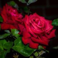 Розы в темноте :: Николай Гирш
