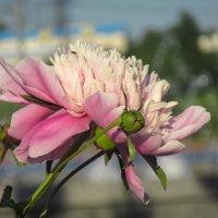 Нежно розовые пионы :: Ирина Майорова