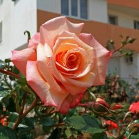 Розы на улицах Севастополя :: Эля Юрасова
