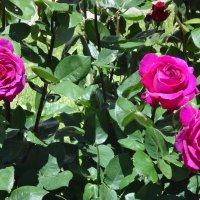 Розы :: Наталья Красильникова