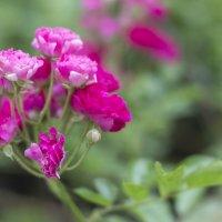 Розовое семейство :: Александр Мац