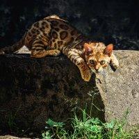 Бенгальская кошка :: Виктор
