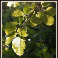 Ветка яблони в июне :: Наталья Лунева