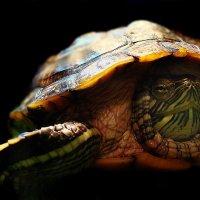 Красноухая черепаха. :: ANNA POPOVA