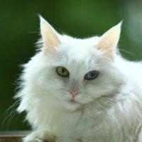 Моя кошка Белка. 29.06.2020г. :: Виталий Виницкий