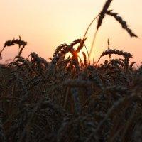 закат в поле :: Алекс