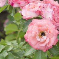 Розы на ВДНХ :: marmorozov Морозова