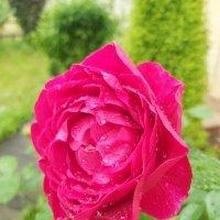 Роза :: Аlexandr Guru-Zhurzh