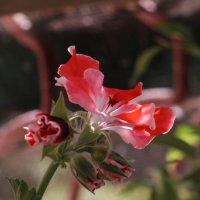 Аленький цветочек :: Irene Irene