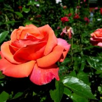 Розы :: Антонина Гугаева