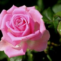 Розовое настроение в июльский жаркий день :: Надежд@ Шавенкова