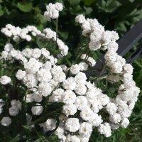 Гипсофила метельчатая махровая белая :: Елена Павлова (Смолова)
