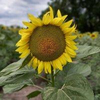 Солнечный цветок :: Dmitriy R
