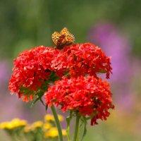 Лихнис цветёт. :: Вера Литвинова