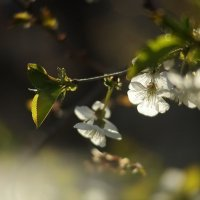Ветка вишни :: Владимир Стаценко