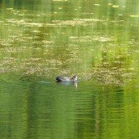 Лысуха на пруду :: Александр Рыжов