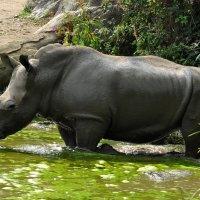 Носорог грязи найдёт... :: Юрий Моченов