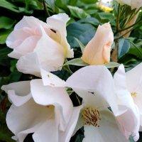 Розы :: Maryana Petrova