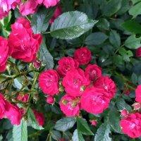 Кустовые розы. :: Ирина ***