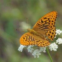 Бабочки летают, бабочки... :: Галина Кан