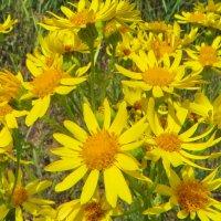 Якобе́я обыкнове́нная (лат. Jacobaea vulgaris) :: ivan