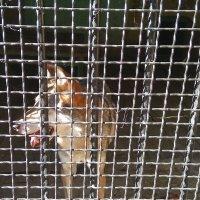 Волк в Луганском зоопарке 2020 год :: Наталья (ShadeNataly) Мельник