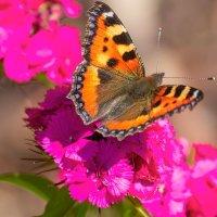 Бабочка на цветах. :: Евгений Голубев