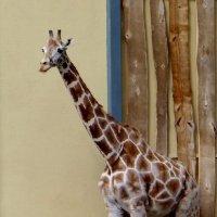Жираф - она. :: Антонина Гугаева