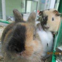 Кролики и морская свинка. :: Зинаида