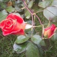 Два возраста роз. :: Серж Поветкин
