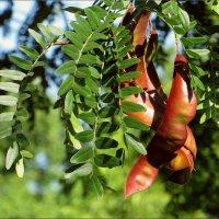 Плоды гледичии - крупные, свисающие бобы в виде стручка, длиной до 30 см :: Татьяна Смоляниченко
