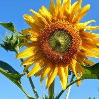 Он большого Солнца маленький портрет! :: Елена Хайдукова  ( Elena Fly )