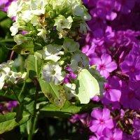 флоксы в саду :: Sabina