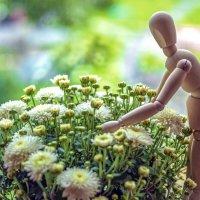 Садовод и хризантемы :: Виктор Орехов