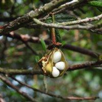 Плоды кринодендрона :: Natalia Harries
