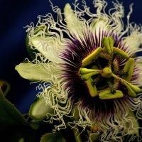 Многообразие природы. Пассифлора. :: Leonid Korenfeld