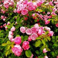 Розы Измайловского сада :: Наталья Герасимова