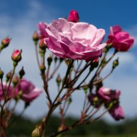 розы :: Лариса С.