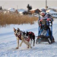 Ишим. Соревнования по снежным дисциплинам ездового спорта :: Александр Максимов