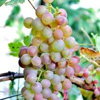 Вот уже и виноград созрел даже в нашей Центральной России. :: Восковых Анна Васильевна