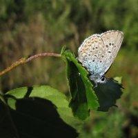 Бабочка голубянка :: veera (veerra)